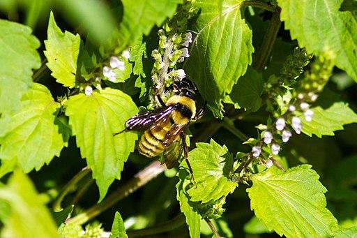 american bumblebee